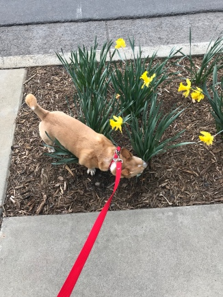stopping to smell the daffodils